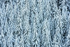 Pines Coverd in a Thick Blanket of Snow. In winter stock photos