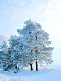 Pines covered with hoarfrost at dawn. Royalty Free Stock Images