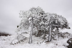 Pines covered in ice Stock Images