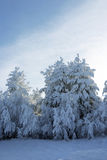 Pines covered by a snow Royalty Free Stock Photos
