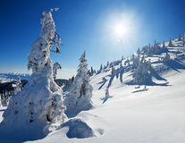 Pines covered with snow Stock Photos