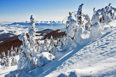 Pines covered with snow. On a mountain hill, winter landscape Stock Photo