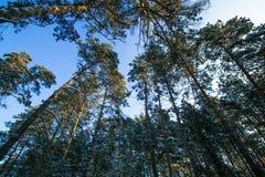 Free Pines Crown Winter Stock Image - 85378661