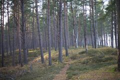 Pines in dunes. Royalty Free Stock Photos
