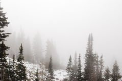 Pines in fog. Mountain Pines are enshrouded in mist as a cloud rolls through the canyon Royalty Free Stock Photo
