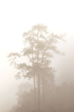 Pines in the fog Royalty Free Stock Photography