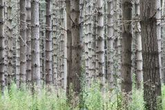 Pines forest Royalty Free Stock Photography