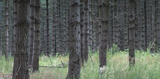 Pines forest Royalty Free Stock Images