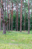 Pines in forest. Stock Photography
