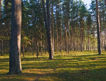 Pines forest Royalty Free Stock Photos