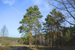 Pines in the forest Royalty Free Stock Image