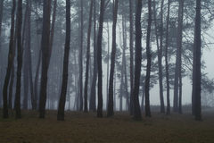 Pines in the forest. Royalty Free Stock Photo