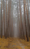Pines in the forest. Royalty Free Stock Images