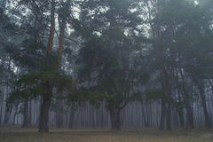 Pines in the forest. Stock Photos