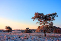 Pines on frozen heath Stock Photo