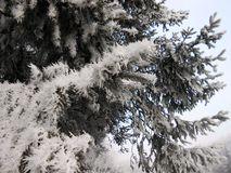 Pines. Frozen pines on winter cold royalty free stock photos
