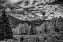 Pines and Golden Aspens BW Royalty Free Stock Image