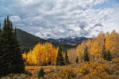Pines and Golden Aspens Royalty Free Stock Photography
