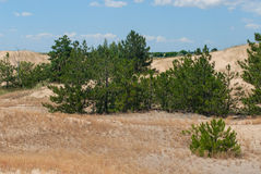Pines grow in the desert. Young pines grow in the desert. A small forest in the desert Stock Photo