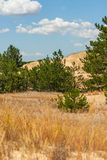 Pines grow in the desert. Young pines grow in the desert. A small forest in the desert Stock Images