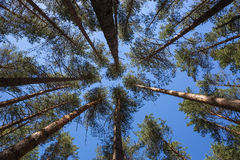 Pines grow to the sky Stock Photography
