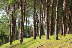 Pines growing on the grassy knoll. Royalty Free Stock Images