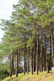 Pines growing on the grassy knoll. Stock Images