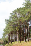 Pines growing on the grassy knoll. Stock Photo