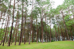 Pines growing on the grassy knoll. Stock Image