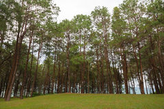Pines growing on the grassy knoll. Royalty Free Stock Photos