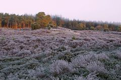 Pines and heather in the light of the rising sun Royalty Free Stock Photography