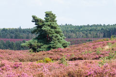 Pines in heathland North Norfolk Stock Photos