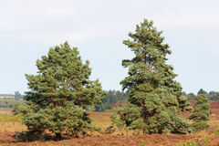 Pines in heathland North Norfolk Stock Photo