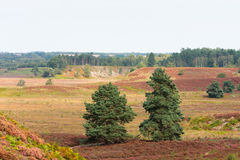 Pines in heathland North Norfolk Royalty Free Stock Photography