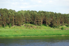 Pines on the hill along the bank of the river of Volga. A summer landscape in the Staritsky area. Tver region. Royalty Free Stock Photos