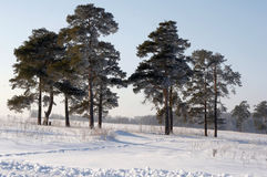 Pines in hoarfrost Stock Images
