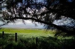 Pines on Kohala Mountain Road, Waimea Royalty Free Stock Photography