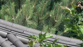 Pines in a mixed forest on a sunny summer day. Pines in a mixed forest on a bright, sunny summer day against the backdrop of a tiled roof video footage with zoom stock video