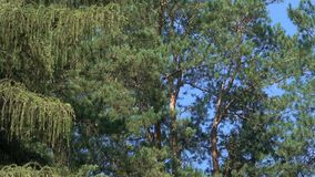 Pines in a mixed forest on a sunny summer day. Pines in a mixed forest on a bright, sunny summer day against a blue sky background video footage with zoom and stock video