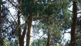 Pines in a mixed forest on a sunny summer day. Pines in a mixed forest on a bright, sunny summer day against a blue sky background video footage with zoom and stock footage