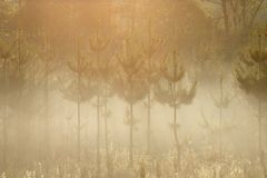 Pines in the morning mist. A group of pines in the morning stock photos