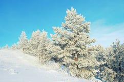 Pines on the mountain Stock Photo