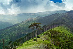 Pines in the mountains. Firs and pines on the slopes Royalty Free Stock Photo