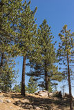 Pines in National Forest Stock Photography