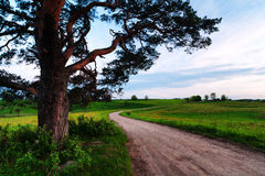 Pines near a rural road with a field of dandelions Stock Image