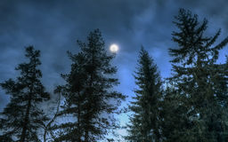 Pines at night in the woods. Moon night Stock Photography