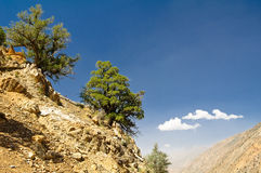 Pines of pamir mountains Royalty Free Stock Photography