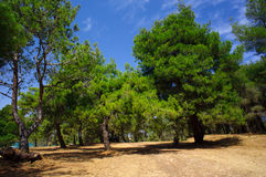 Pines in the park of Medulin Royalty Free Stock Images