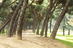 Pines path Royalty Free Stock Photo