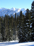 Pines and Peaks. Pine forest at high altitude in the Colorado Rockies during Winter royalty free stock photography